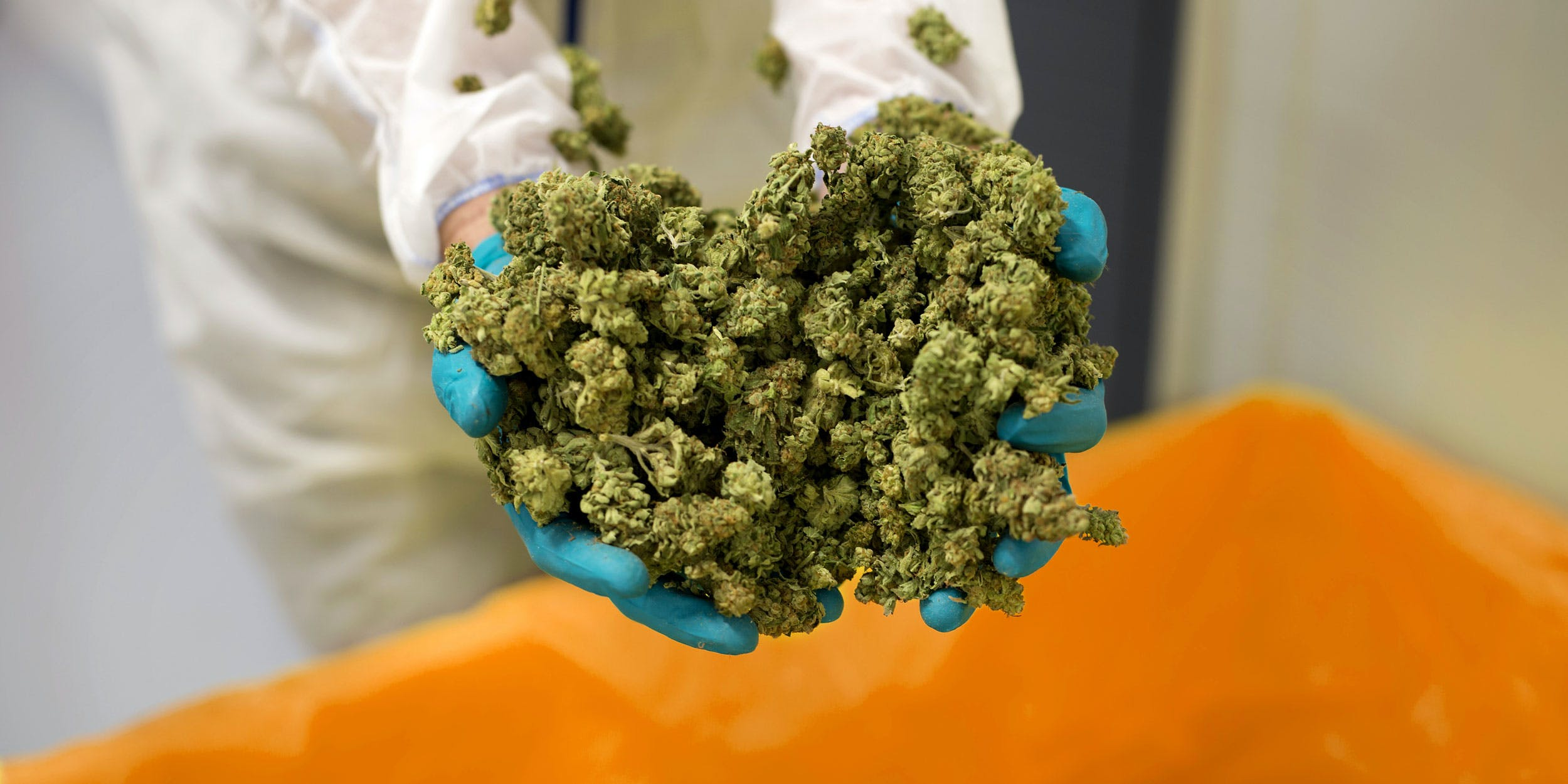 In this photo, an employee displays cannabis buds for a photograph at the CannTrust Holding Inc. Niagara Perpetual Harvest facility in Pelham, Ontario, Canada, on Wednesday, July 11, 2018. Legalization in Canada is set to go into effect on October 17th. British Columbia dispensaries are concerned they won't have enough weed to stock their shelves by then.