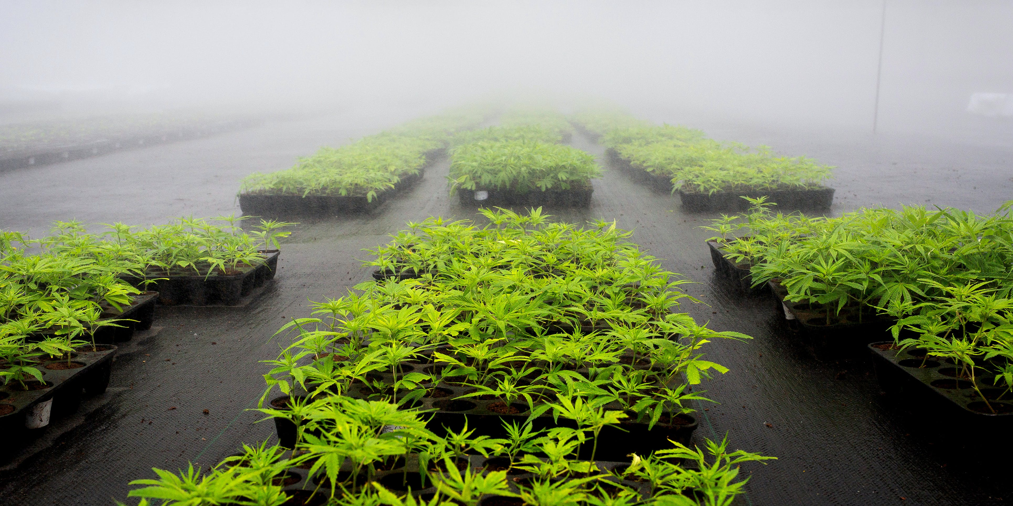 "Marijuana plants grow at the PharmaCielo Ltd. facility in Rionegro, Colombia, on Thursday, April 26, 2018. A Michigan court just ruled that ""wet cannabis,"" an inevitable part of the cultivation is process, is illegal in the state, presenting problems for state-legal growers."