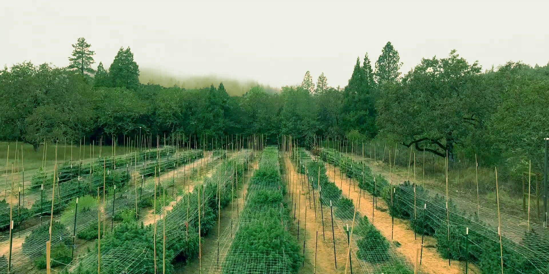 Rows of Cannabis plants growing at East Fork Cultivars in Cave Junction, Oregon.