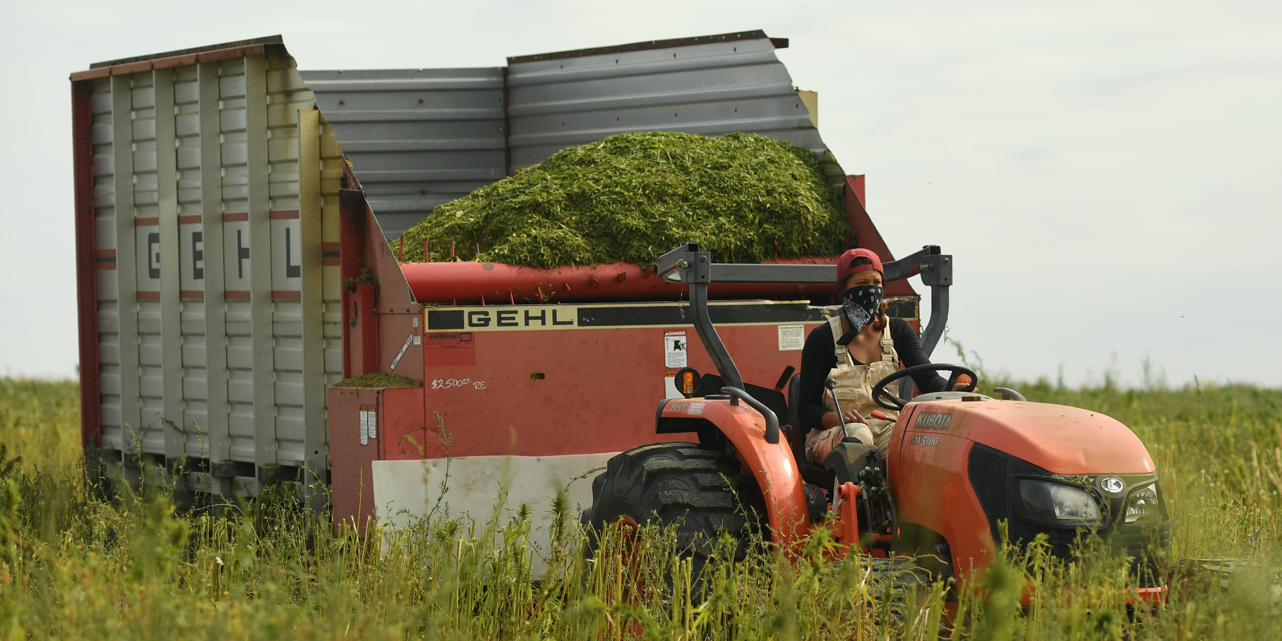 EATON, CO - SEPTEMBER 5: Shami Coleman, co-owner of Colorado Cultivars Hemp Farm brings in a load of hemp that was harvested on September 5, 2017 in Eaton, Colorado. The Senate's Farm Bill to Legalize Hemp Bans Farmers with Cannabis Convictions