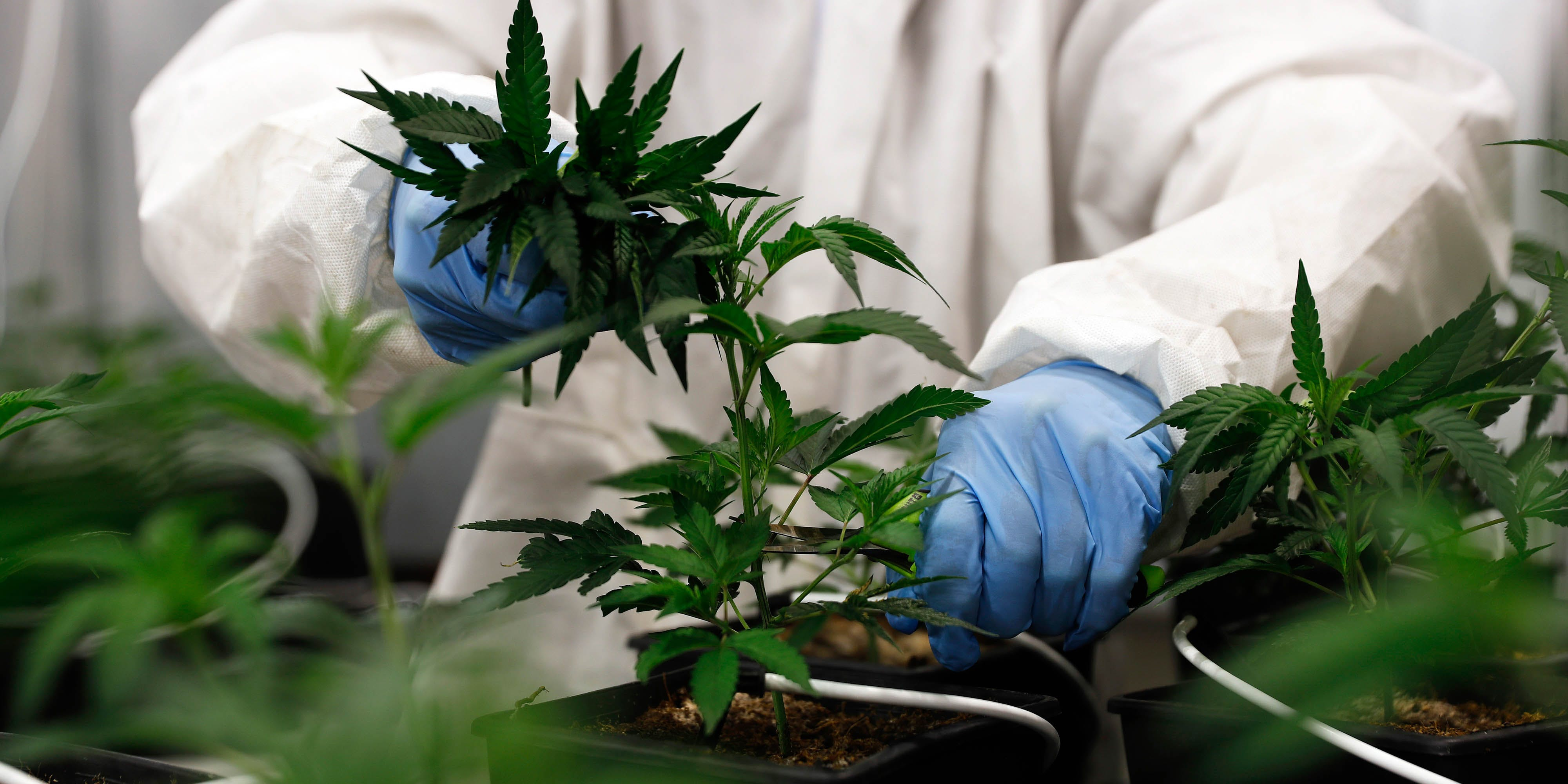 An employee takes cuttings from a cannabis mother plant inside a greenhouse facility. New research out of Australia finds that CBD might not be the only cannabinoid fighting epilepsy.