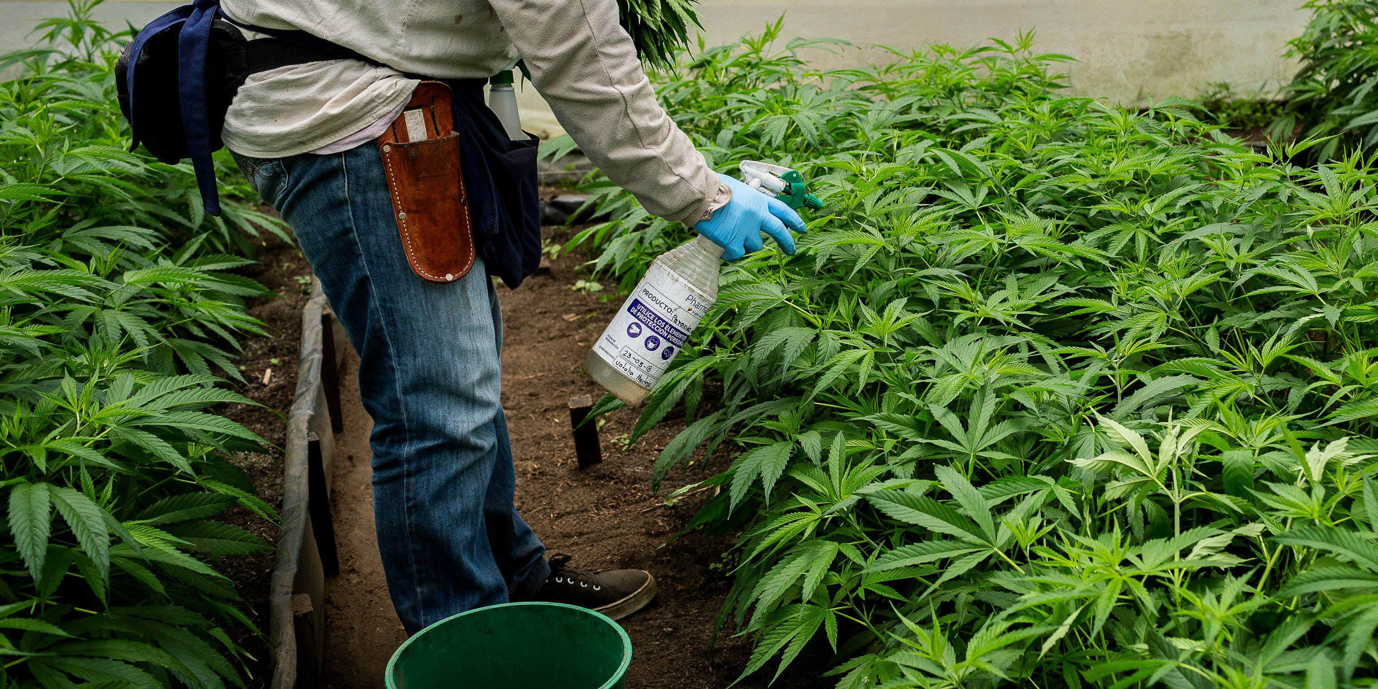 An employee sprays marijuana plants at the PharmaCielo Ltd. facility in Rionegro, Colombia, on Thursday, April 26, 2018. Natural pesticide use on cannabis is growing in popularity.