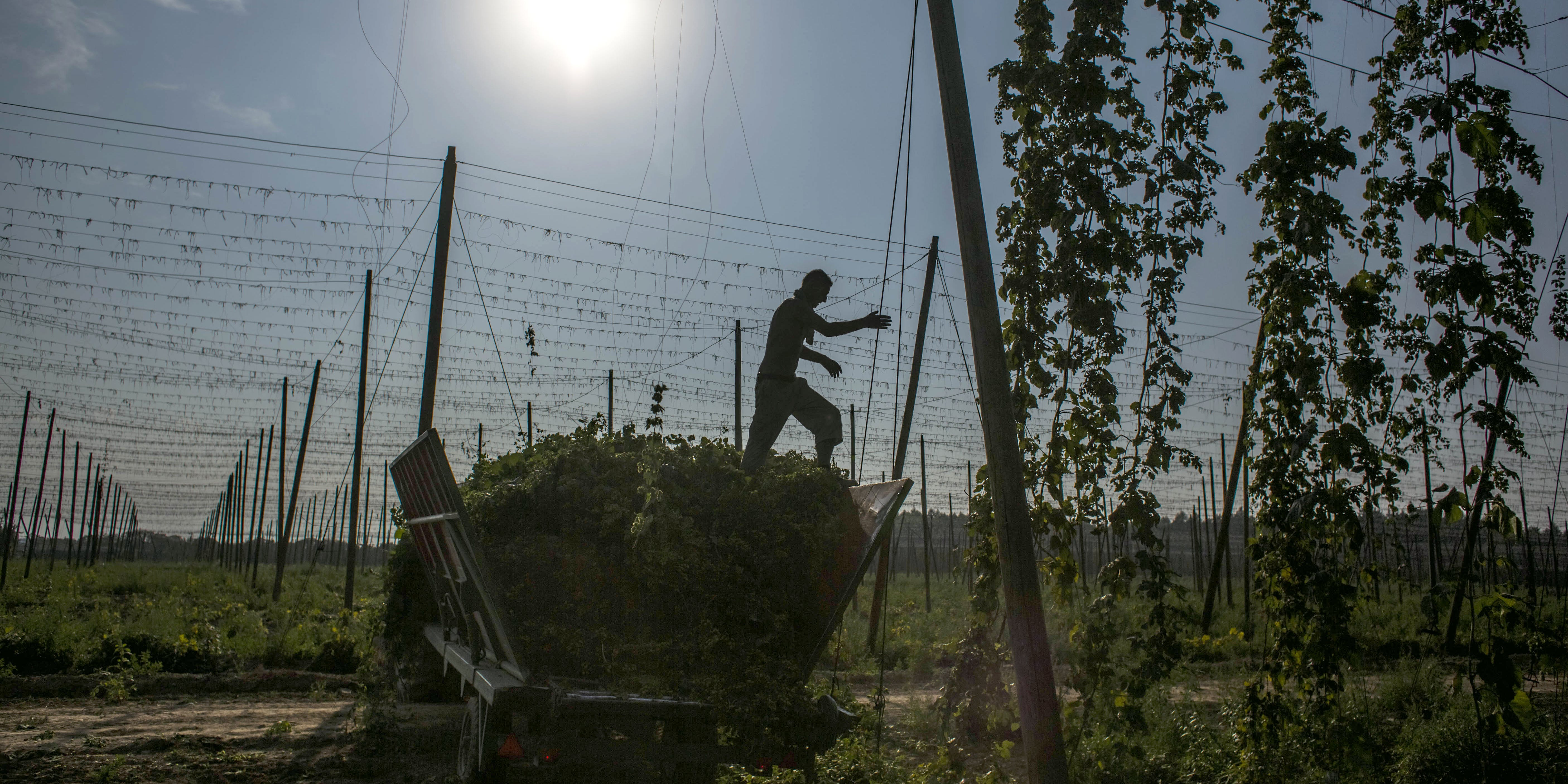 A worker in the Czech Republic steps on hops during harvesting. Hops might be the loophole the cannabis industry needs to produce fully legal CBD.