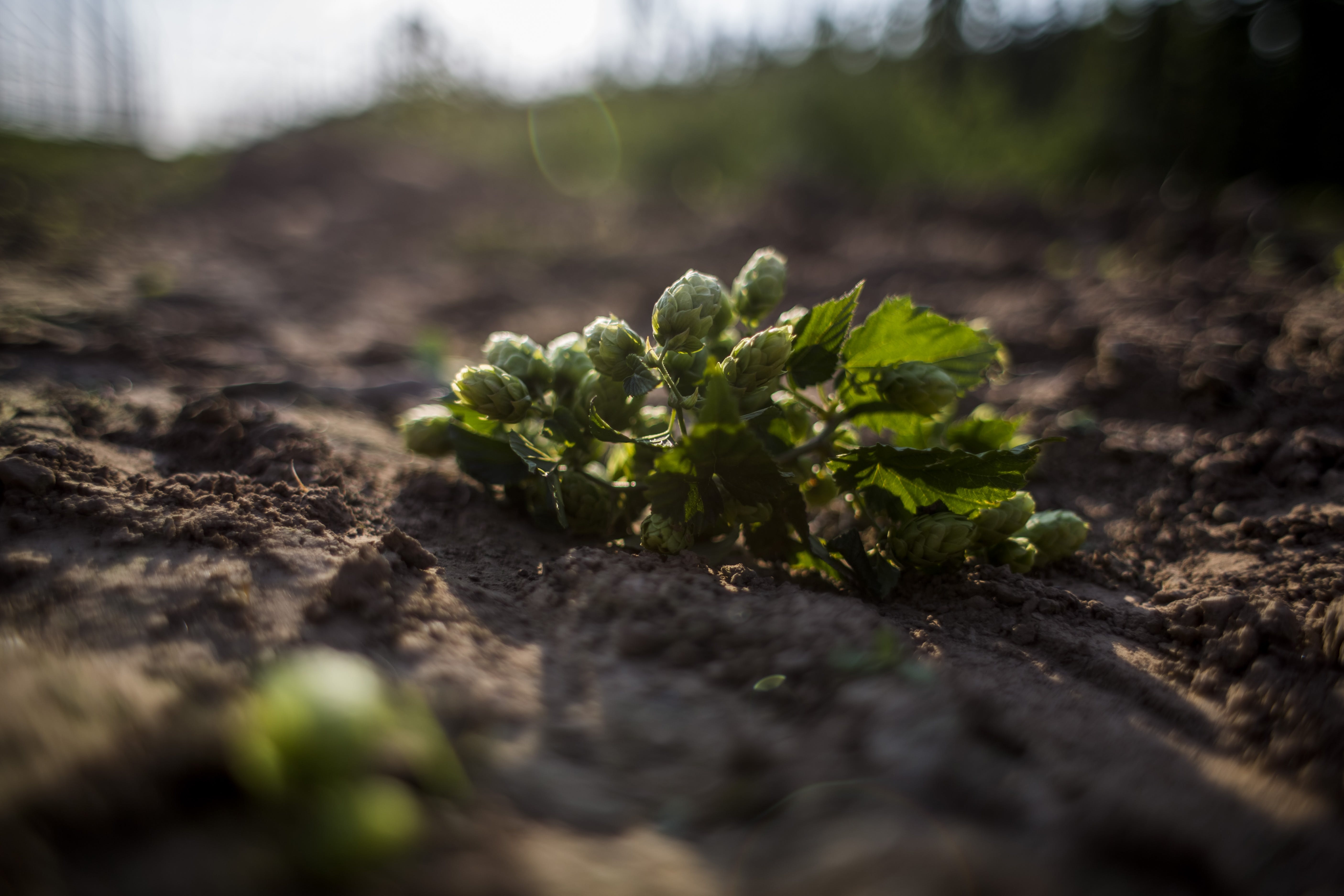 Hops Could be The First Fully Legal Source of CBD0 Hops Discovered in India Could Help Bring Truly Legal CBD to Market