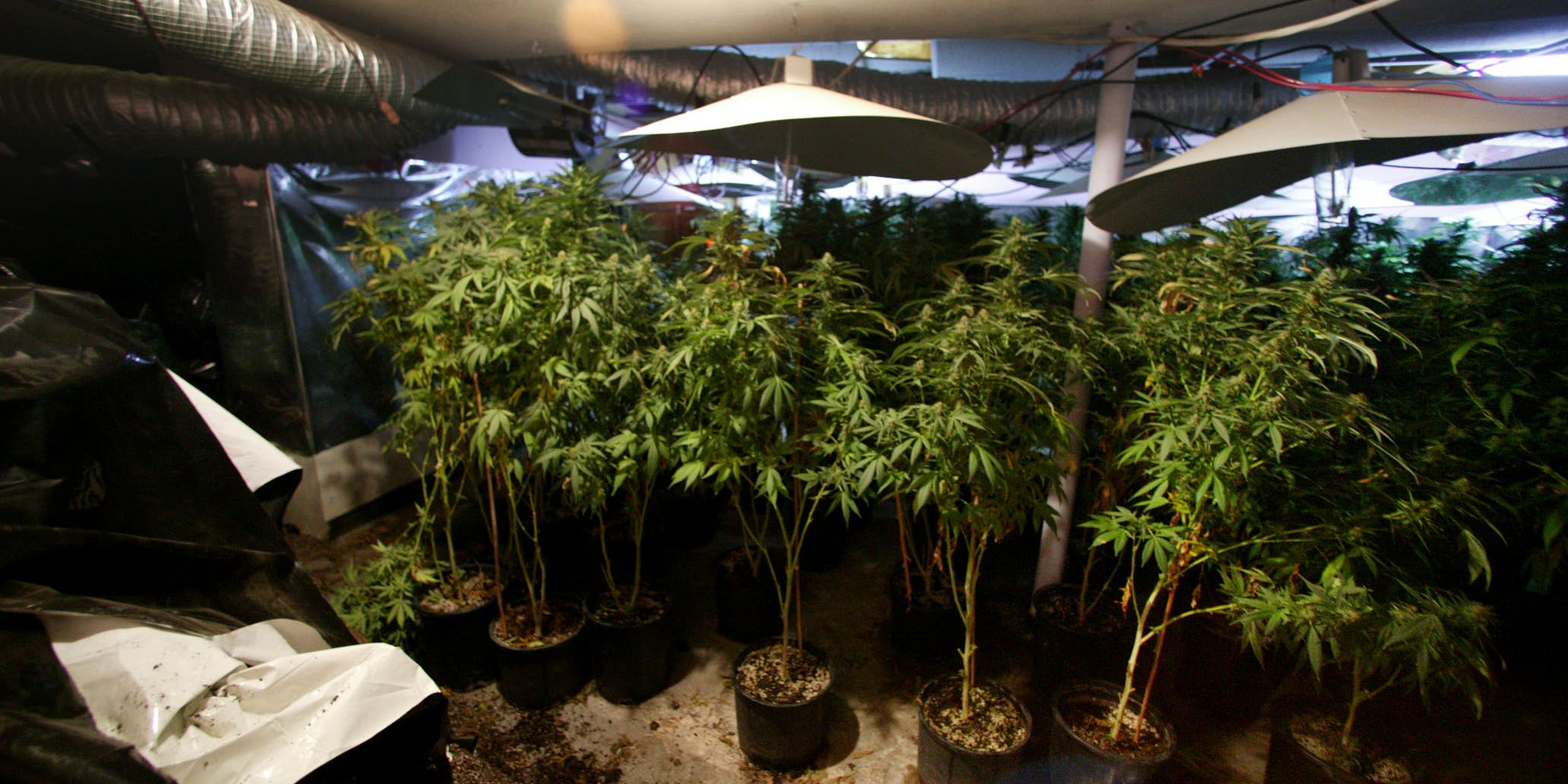 "A UK man got out of significant jail time for weed by claiming all $35,000 worth he was growing was for personal use. Here, Four foot high marijuana plants are pictured in the basement of a ""grow house"" after a raid by the Toronto Police Service's drug squad in Toronto, Ontario, Canada on July 14, 2005."
