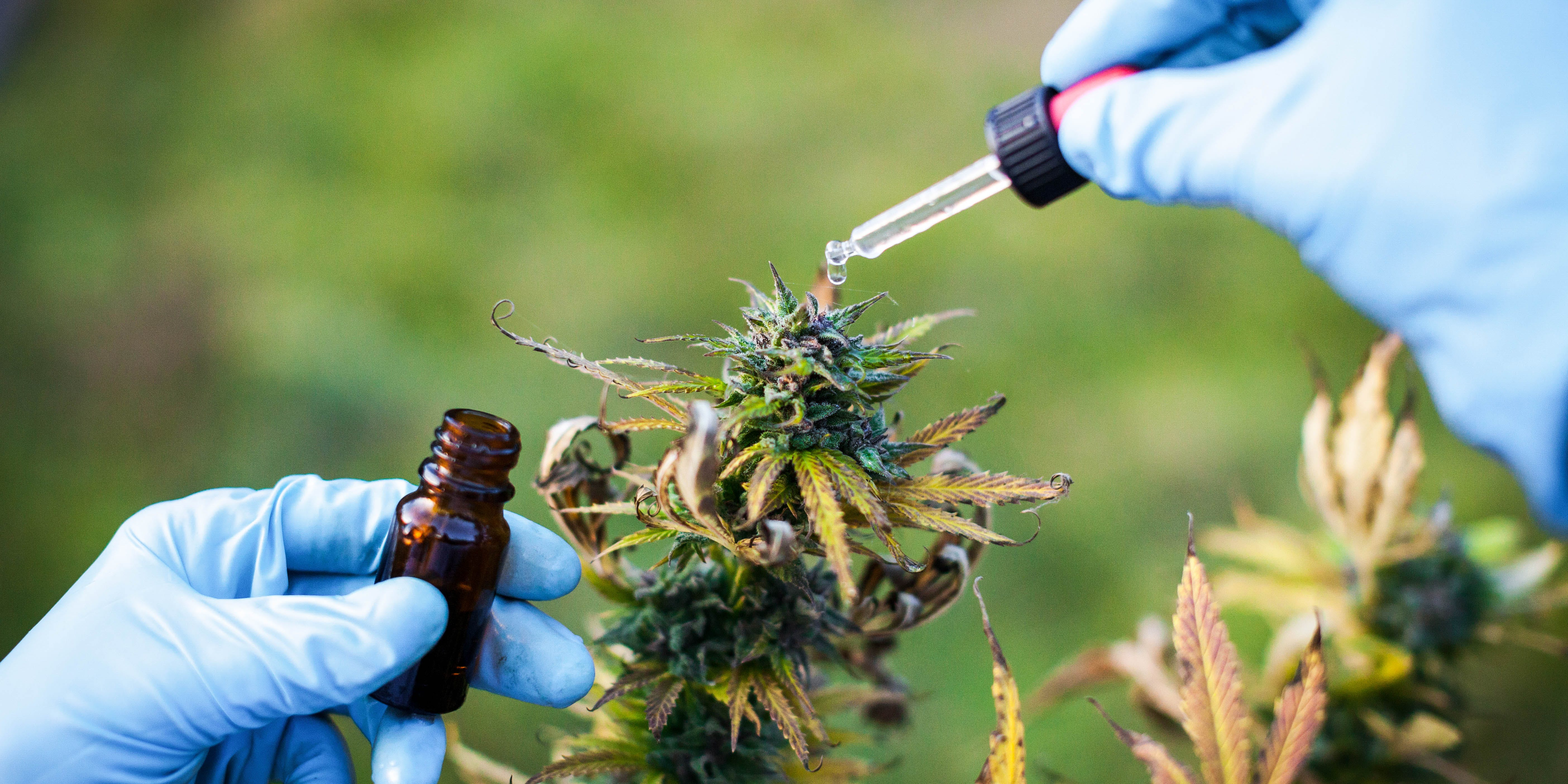 Cannabis For IBD: Study Explains Why Cannabis Works For Bowel Inflammation. Here, a young woman is shown preparing homeophatic medicine from a marijuana plant.
