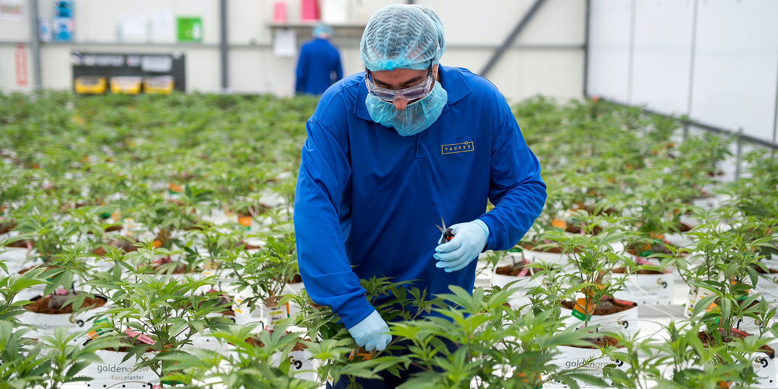 An employee trims cannabis plants in a greenhouse at the 7ACRES facility in Tiverton, Ontario, Canada, on Tuesday, March 13, 2018. (Photo by James MacDonald/Bloomberg via Getty Images)