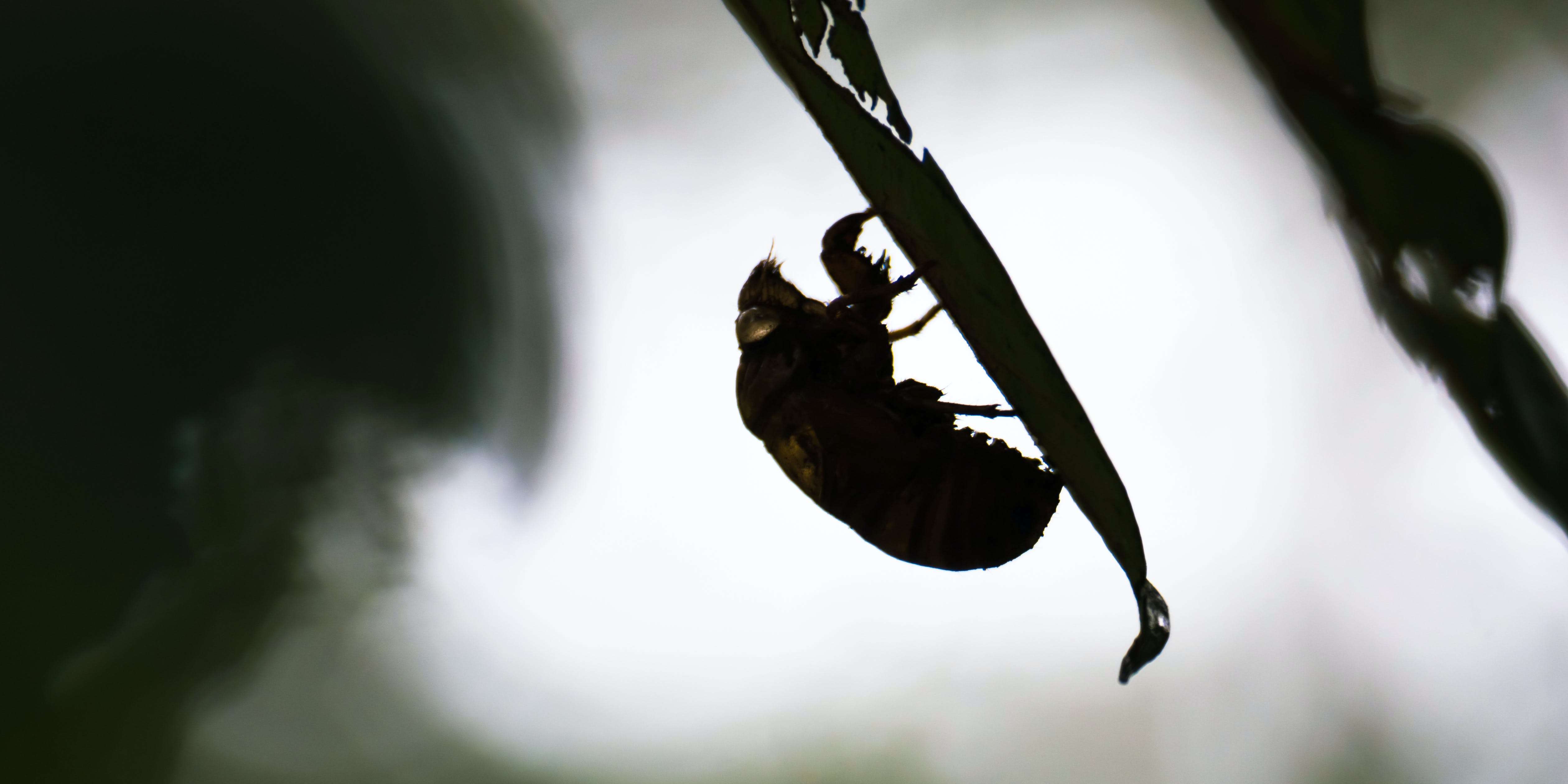 Research Finds Cicadas are Tripping on Psilocybin
