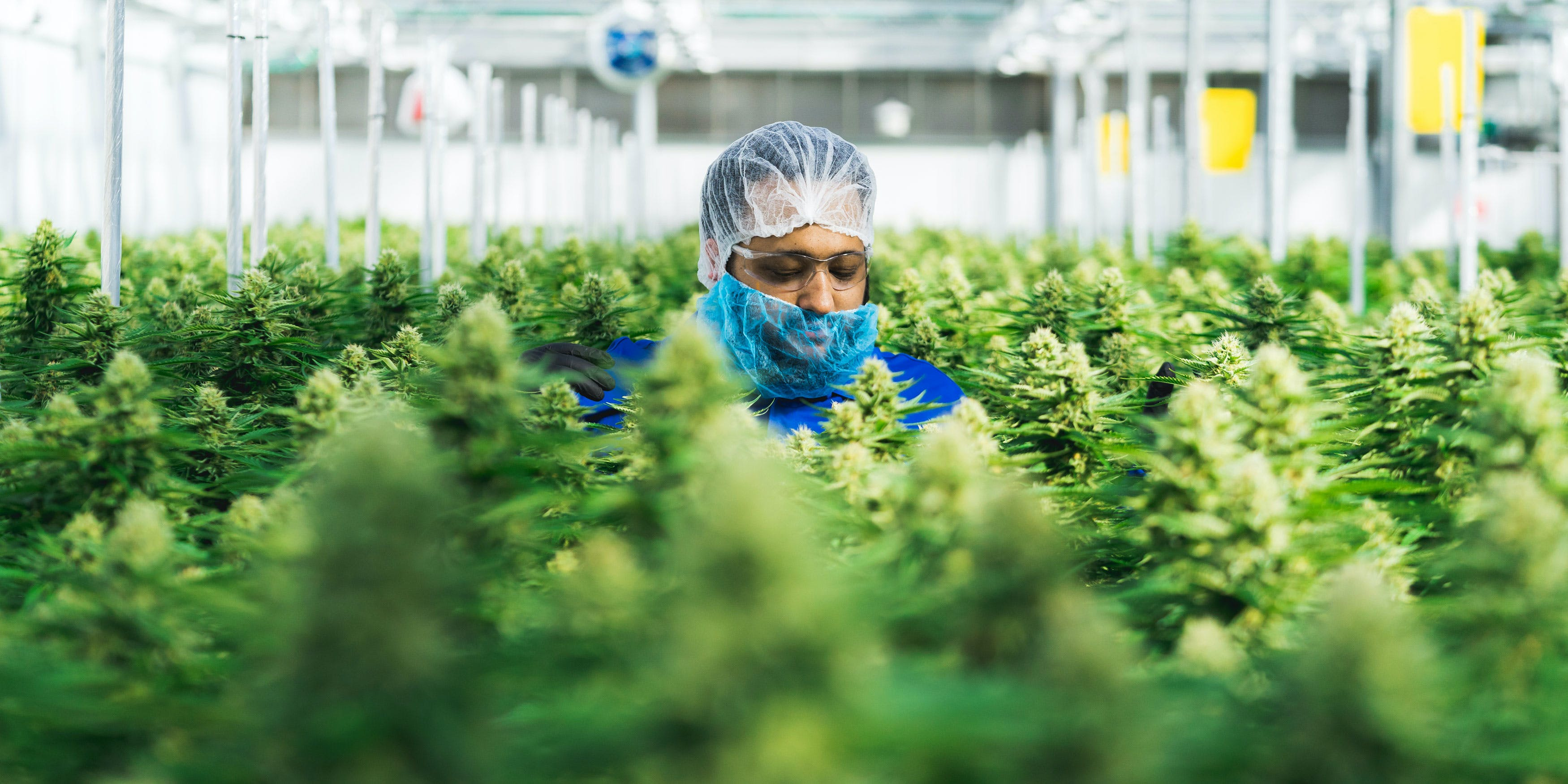 A worker in the 7ACRES facility tends the canopy