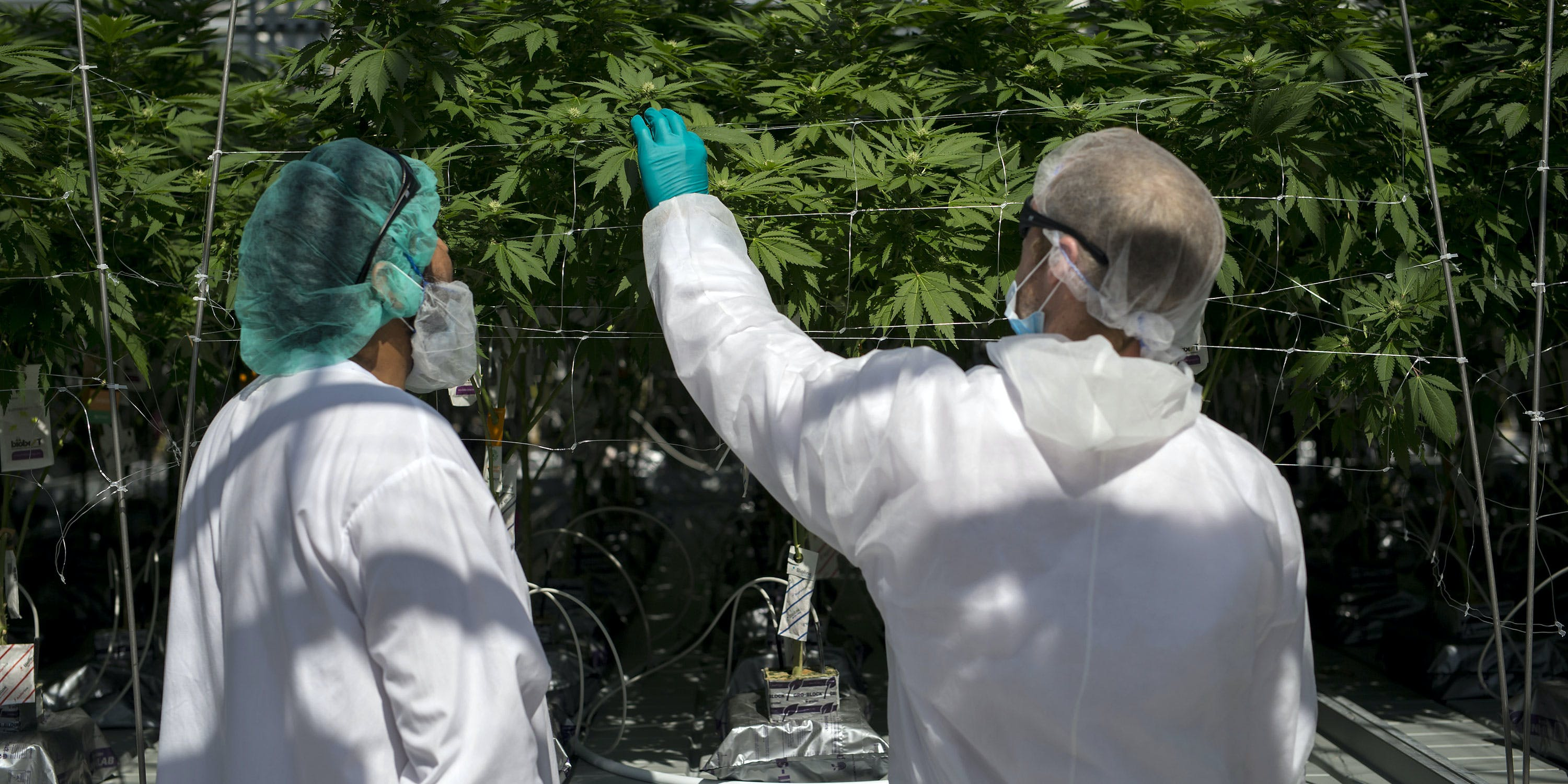 Employees inspect cannabis plants at a facility. In this article, Herb explores how Coca-Cola wants to get into the weed game with CBD infused drinks.