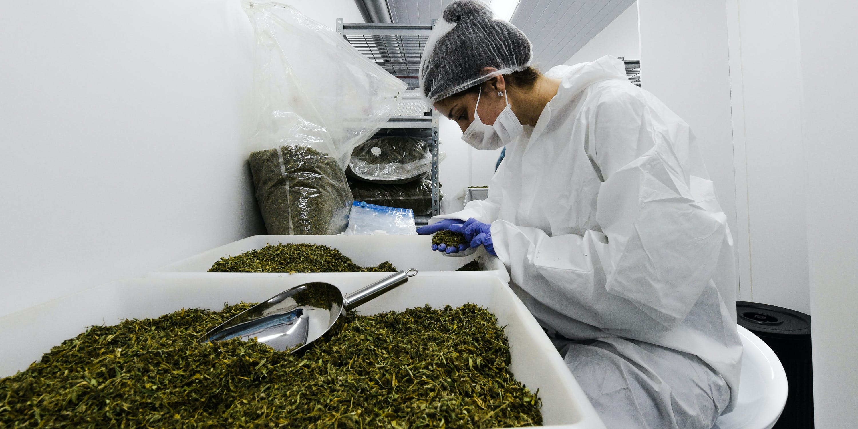 An employee analyzes the quality of marijuana at a greenhouse near Empalme Olmos, Canelones department, Uruguay on August 23, 2018. One of the most common marijuana myths is that prohibition should be upheld because cannabis hasn't been proven to be safe. On the contrary, legalization ensures that it is by instituting regulations like lab testing. (Photo by Miguel ROJO/ AFP/Getty Images)