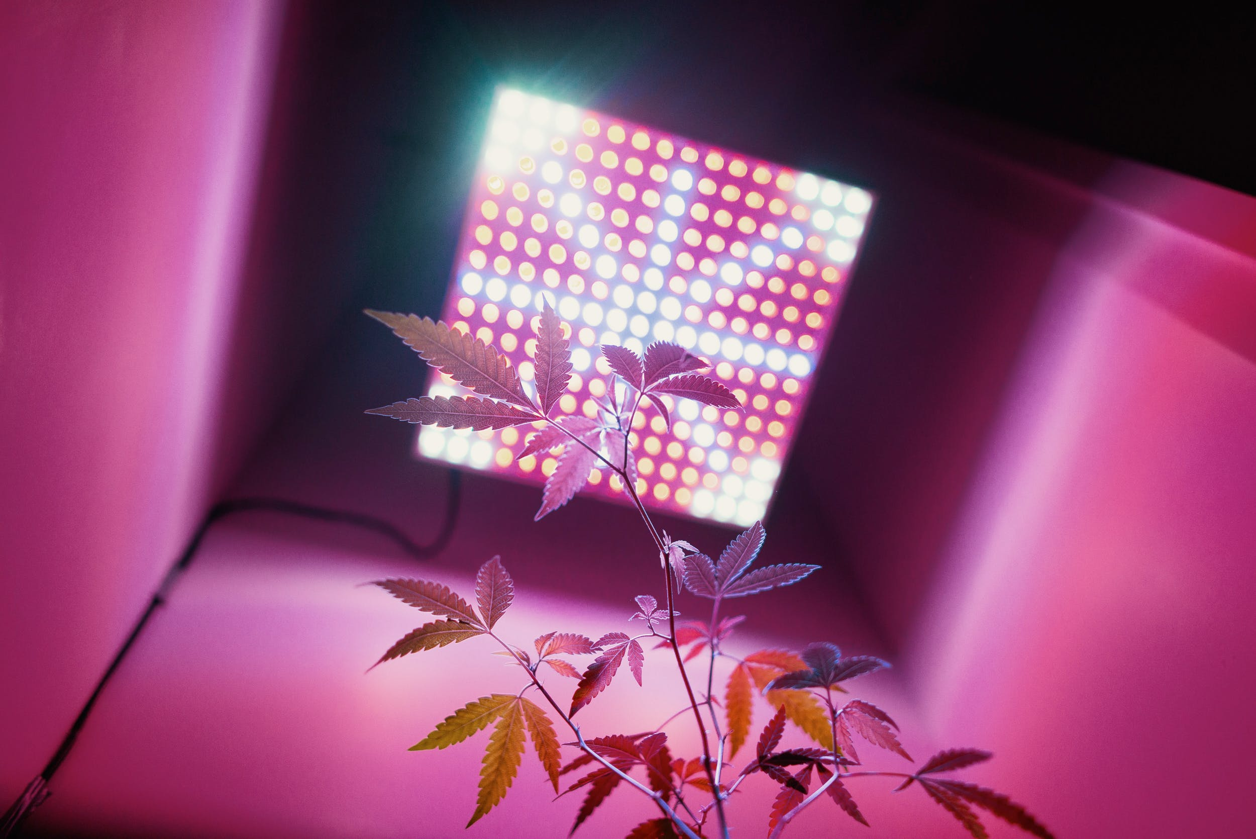 A cannabis plant illuminated by one of best LED grow lights