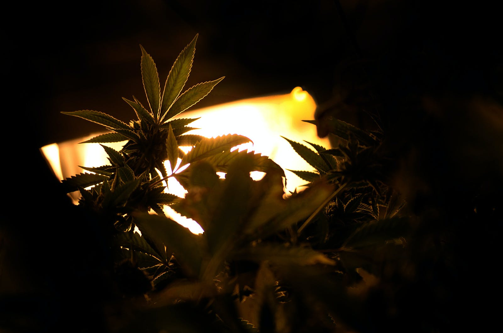 A cannabis plant is light from the rear by one of the best HID grow lights on the market