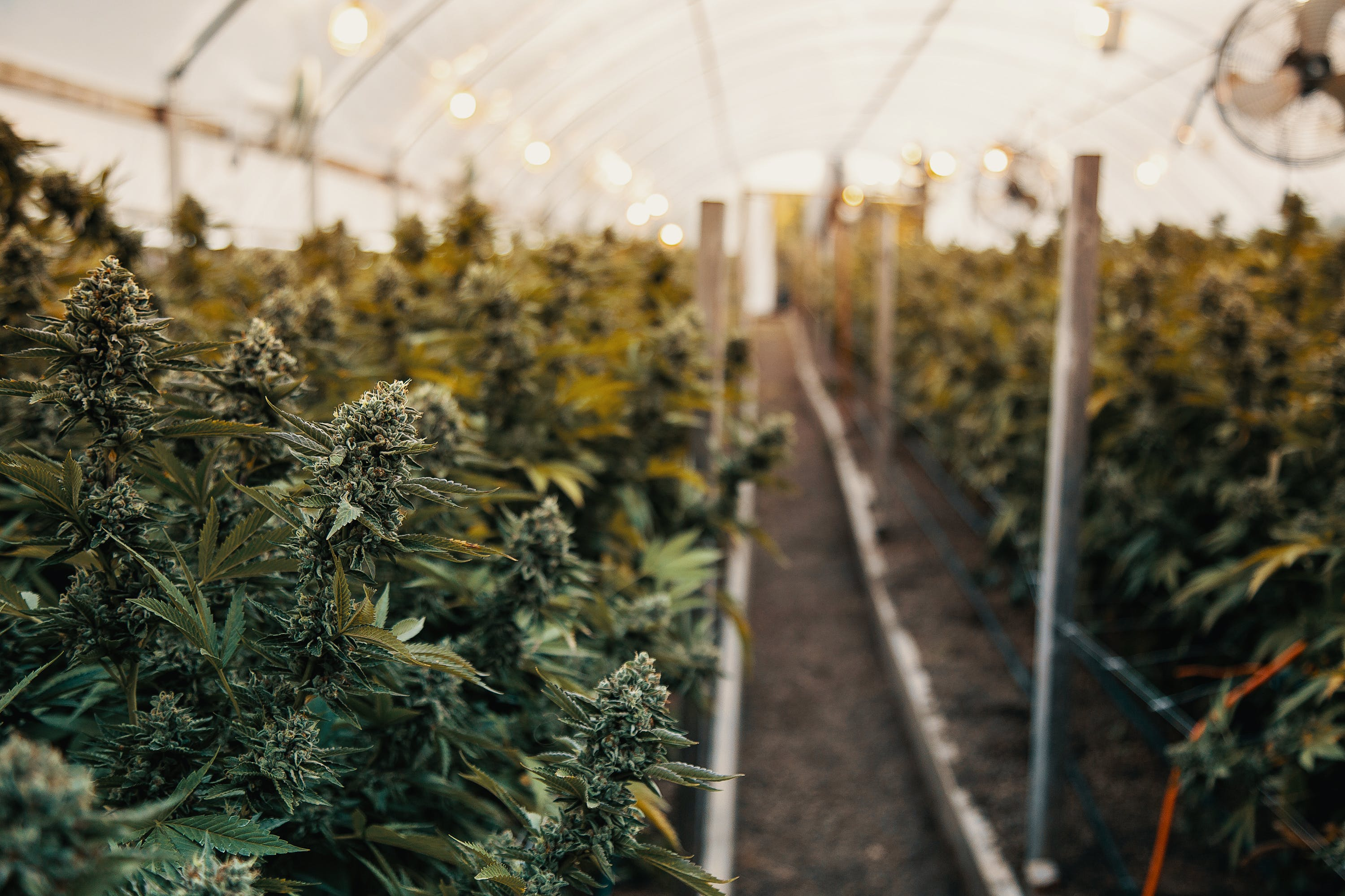Growing Indoor vs. Outdoor Weed What%E2%80%99s the Difference 1 Growing Indoor vs. Outdoor Weed: Whats the Difference?