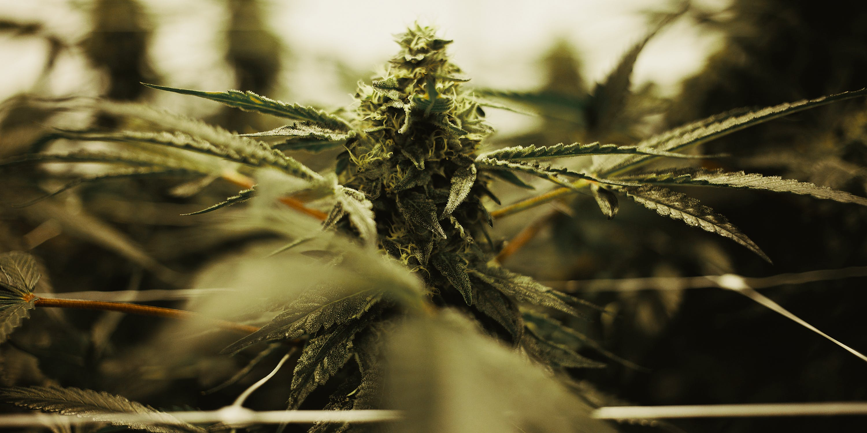 Growing Indoor vs. Outdoor Weed: What's the Difference? Here, a plant is shown close up