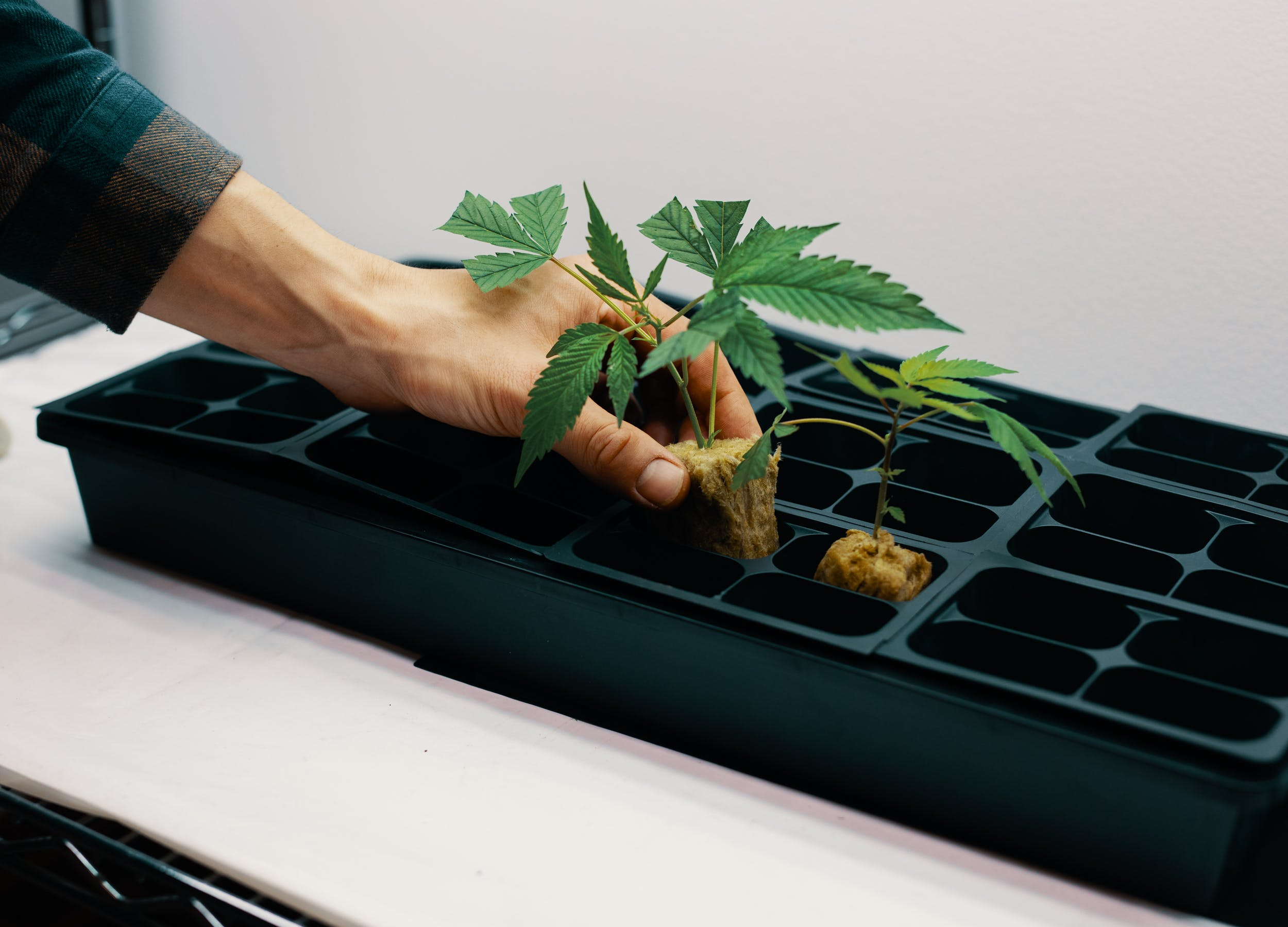 Cloned plants being placed into sprouting boxes, a key step in understanding how to clone weed