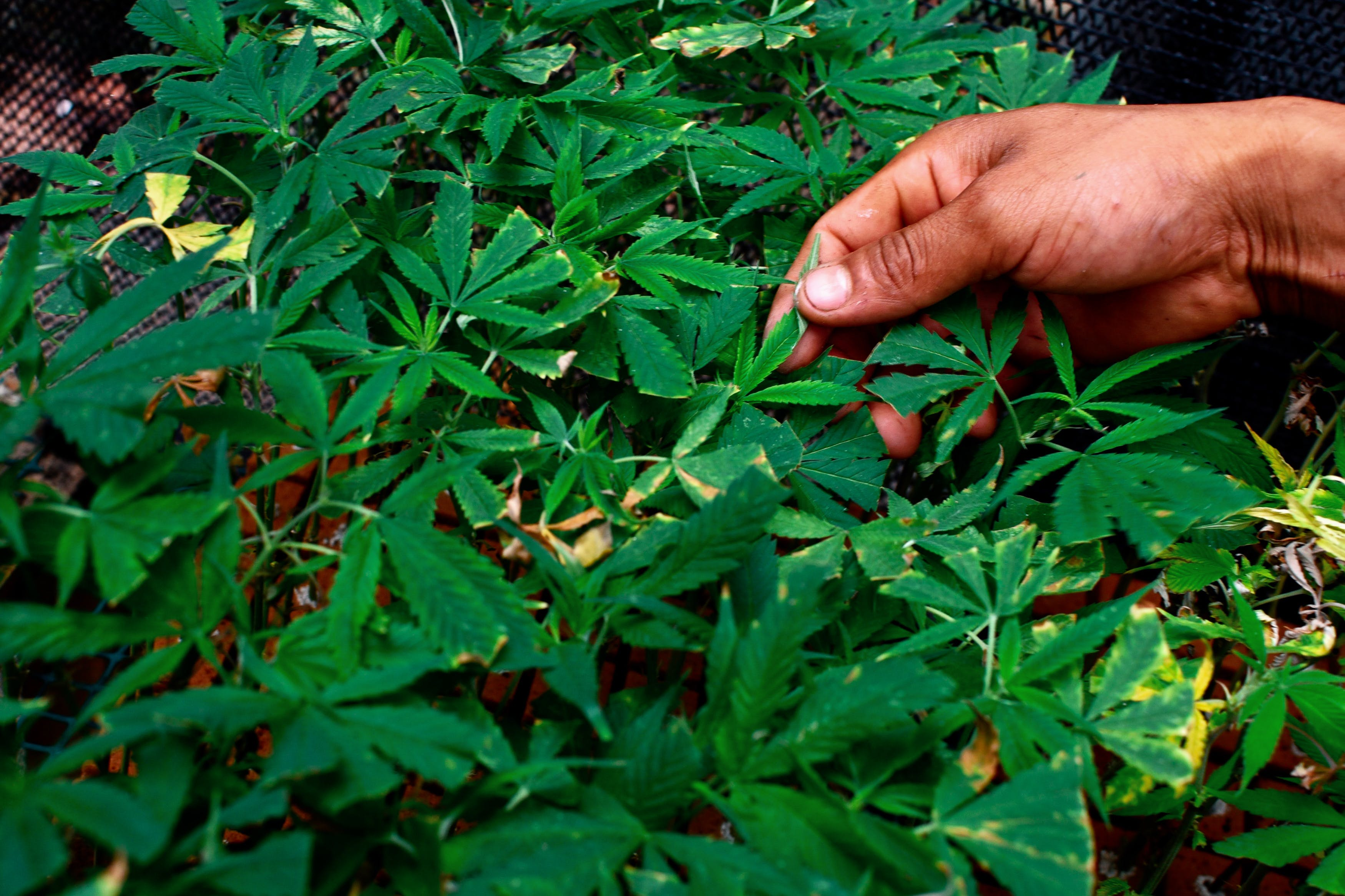 Here, a weed plant with a cannabis disease is shown. In this article, we feature the common cannabis diseases including powdery mildew and gray spot