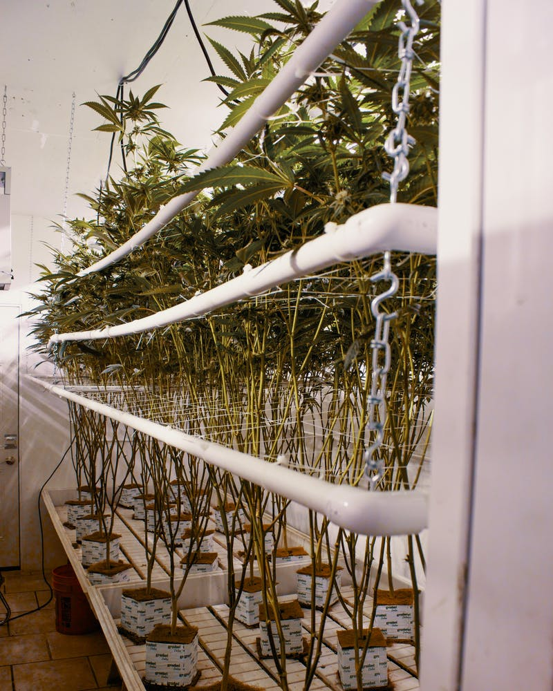 Save Space and Yield More Bud With the SCROG Screen of Green Method 2 What is SCROG?: Save Space and Yield More Bud With the Screen of Green Method