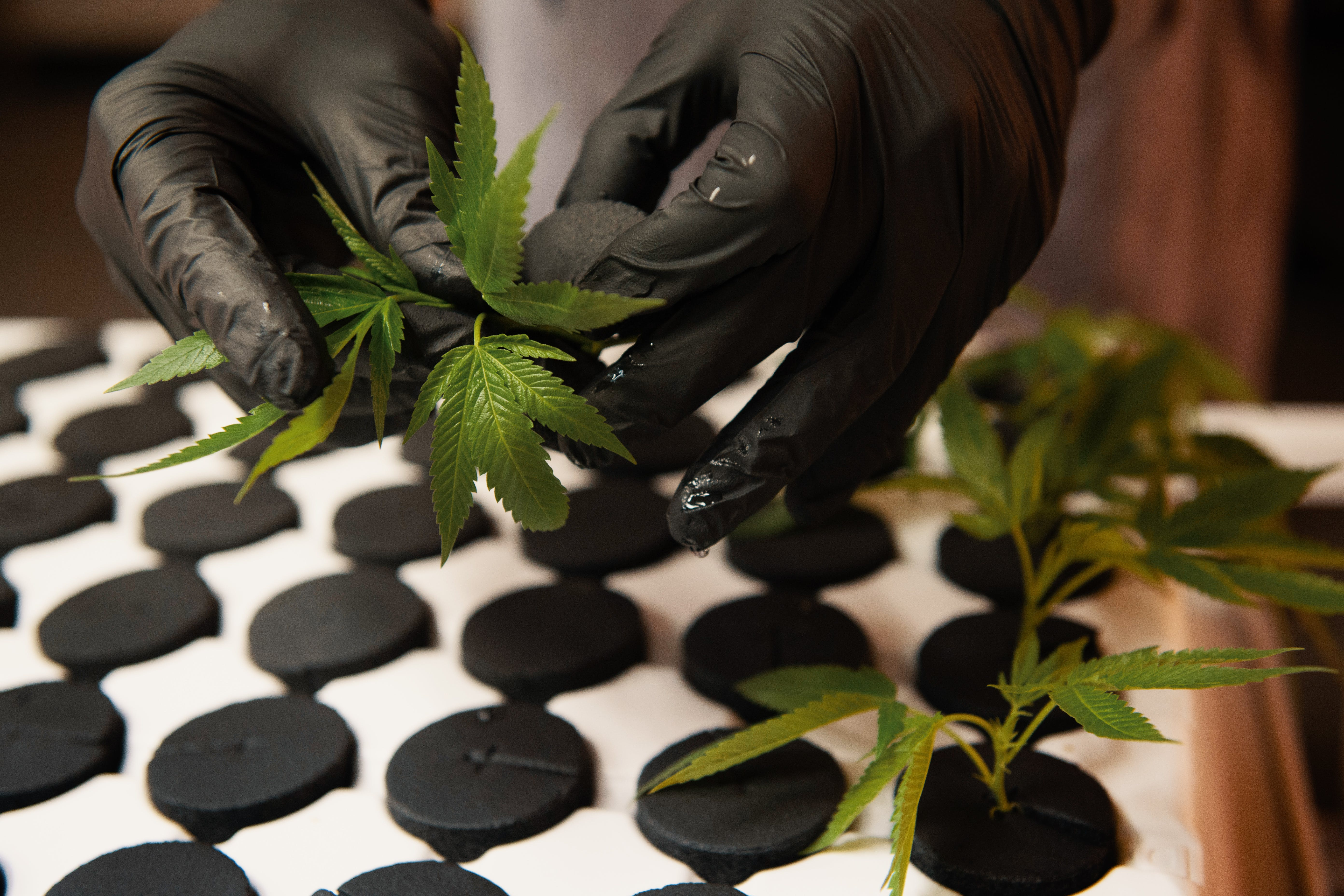 What is Hydroponic Weed The Pros and Cons of Hydroponics vs. Soil What is Hydroponic Weed? The Pros and Cons of Hydroponics vs. Soil