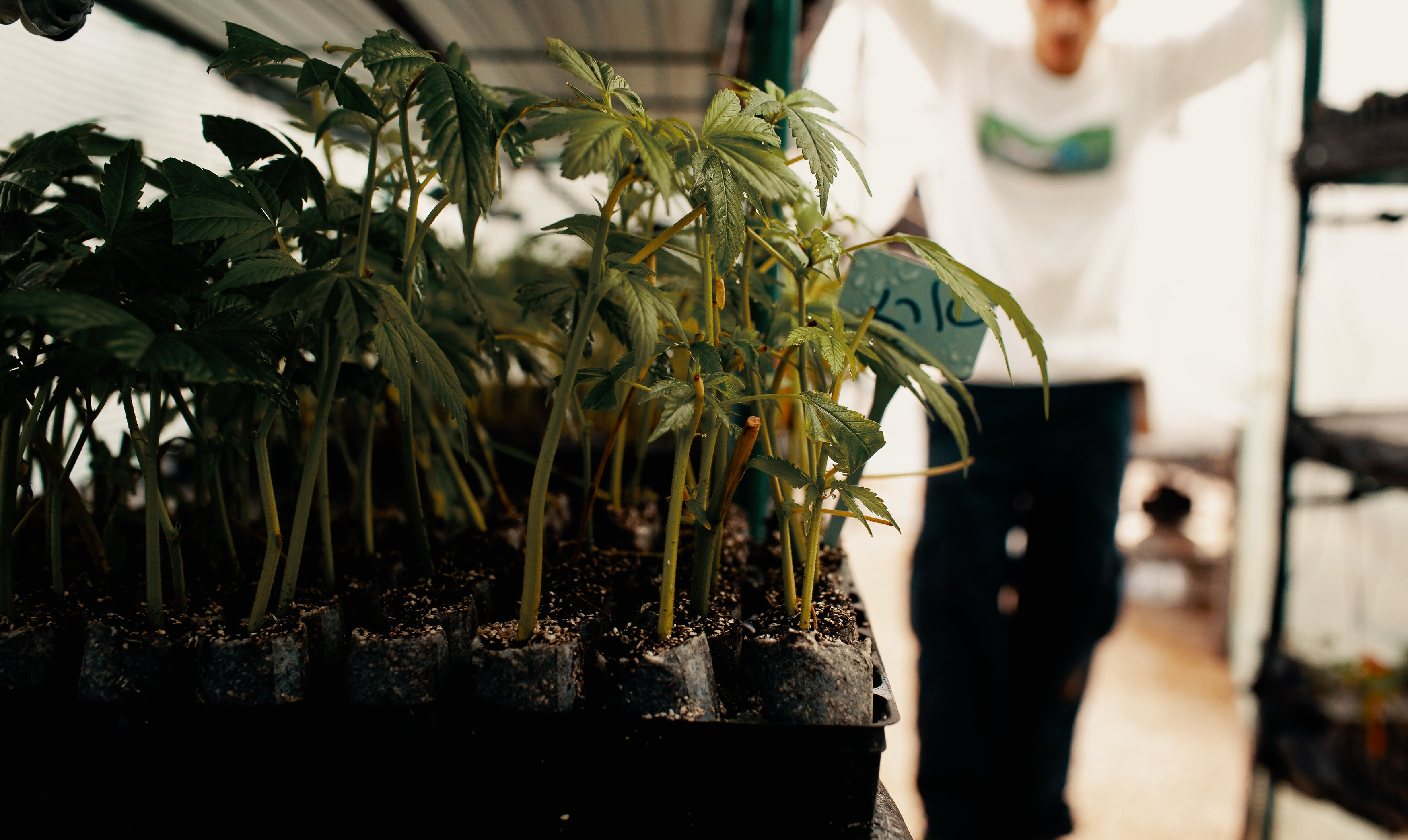 Cannabis Breeding 101: Small cannabis plants ready to be properly potted