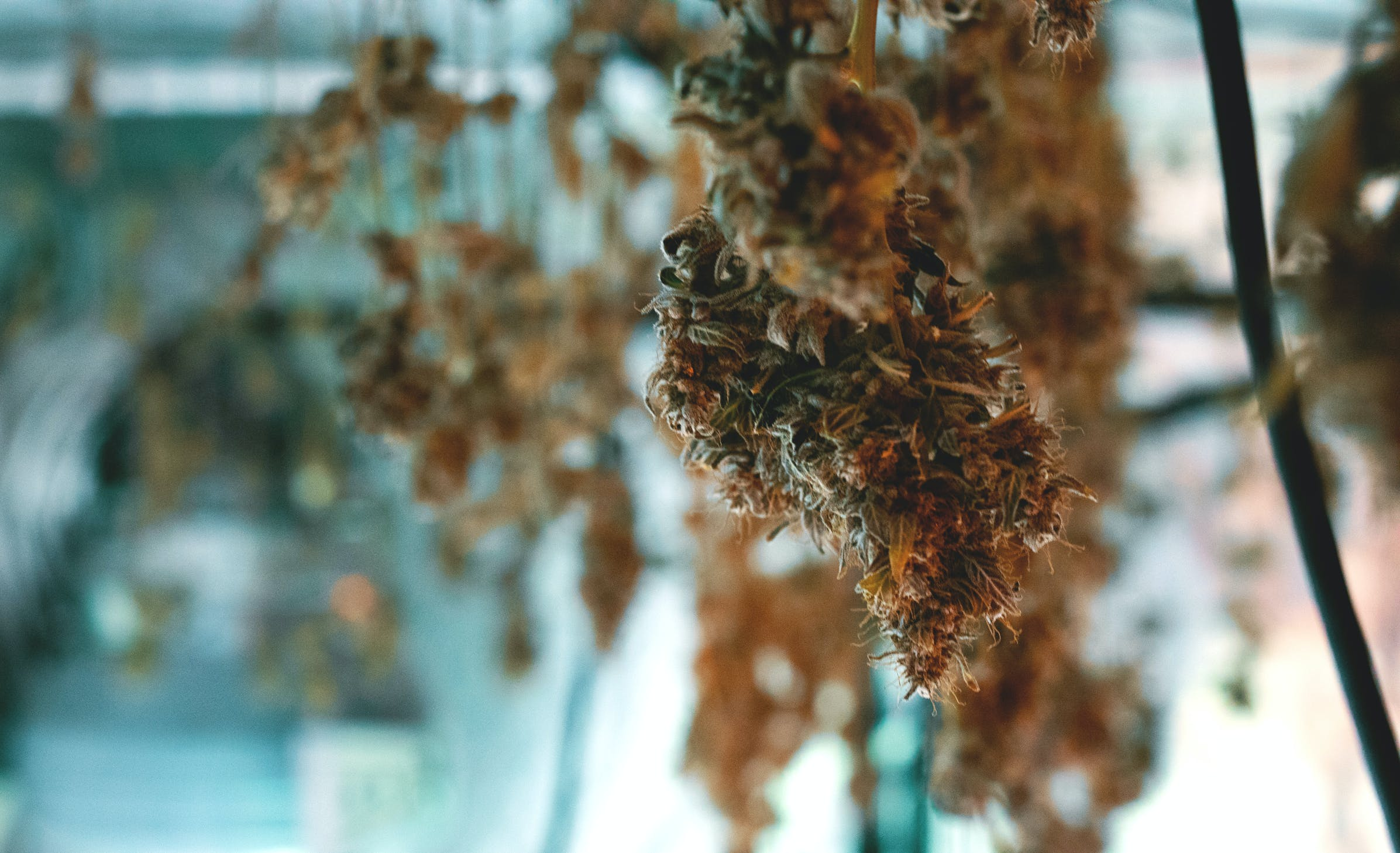 Cannabis hangs upside down drying, which is one of our tips in the how to dry cannabis guide