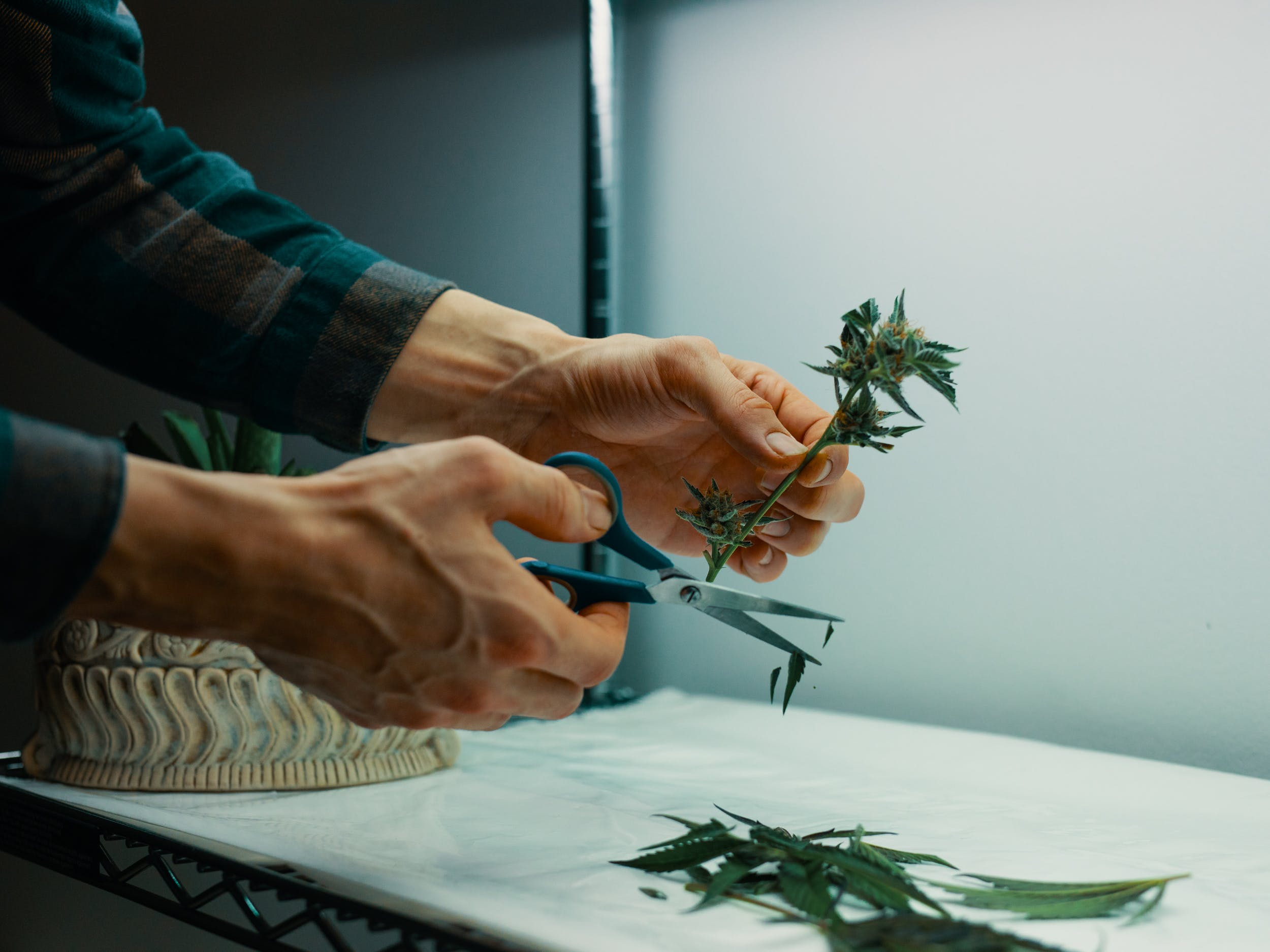 Hands trimming weed after reading our how to trim weed guide
