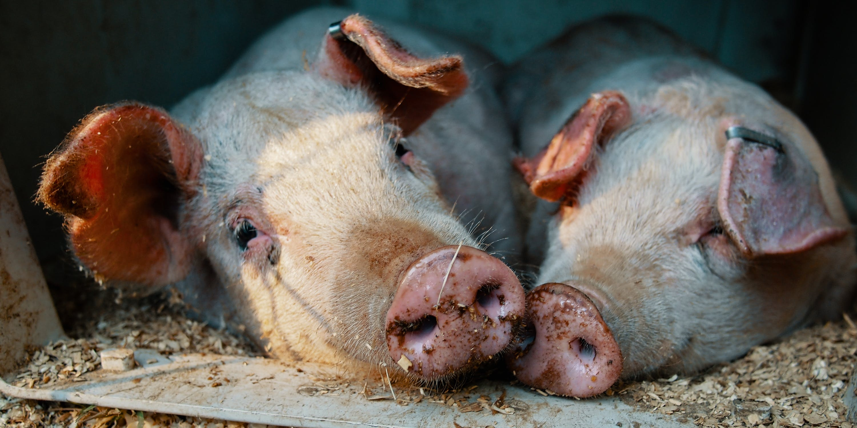A farm in Oregon is feeding weed to pigs to make tastier pork.