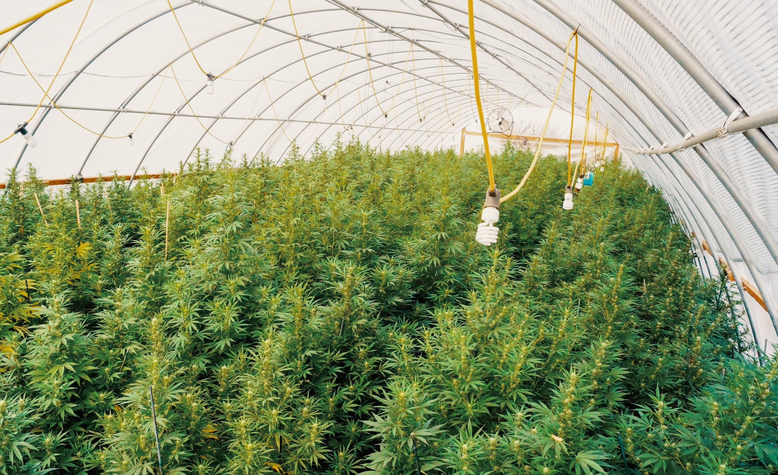 A large scale hemp farm under a dome
